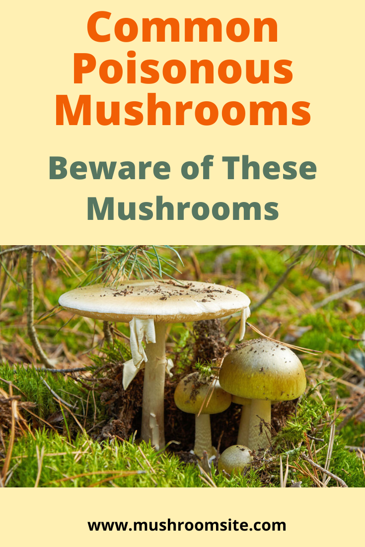 Common Poisonous Mushrooms