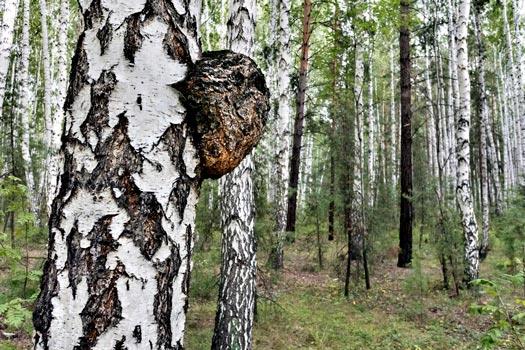 Inonotus Obliquus Growing on a Tree