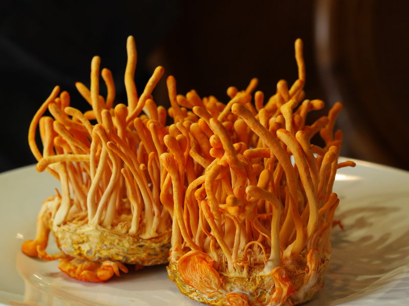 Cultivated Cordyceps
