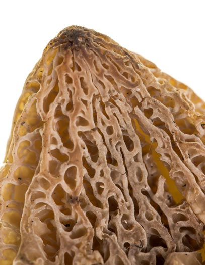 Morel Texture is Pitted