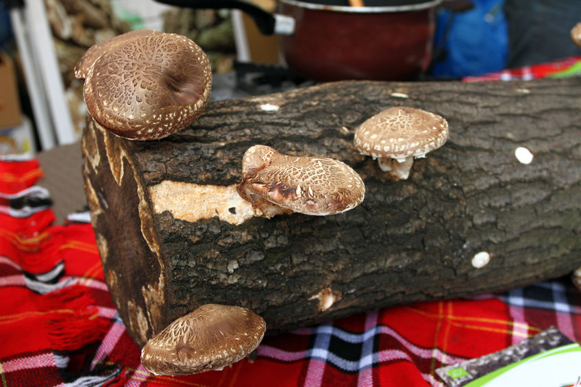 Shiitake Mushrooms Growing on an Oak Log