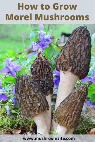 how to grow morel mushrooms