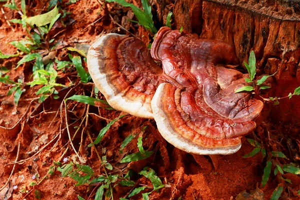 Reishi Lingzhi Mushrooms Growing on a Tree
