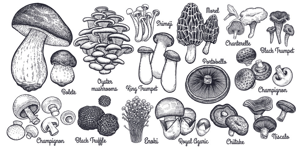 Common Edible Mushrooms -- A Brief Guide