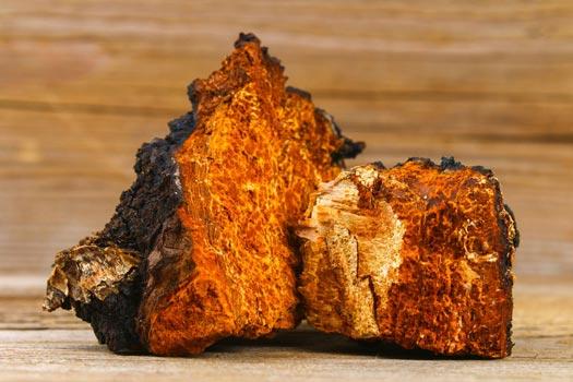 Inonotus Obliquus Golden Interior