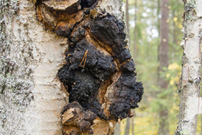 Chaga Growing On A Tree