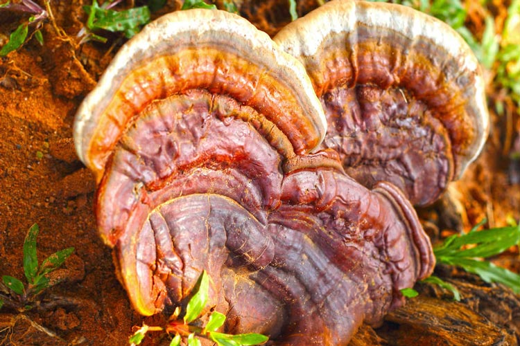 Mushrooms That Will Boost Your Brain