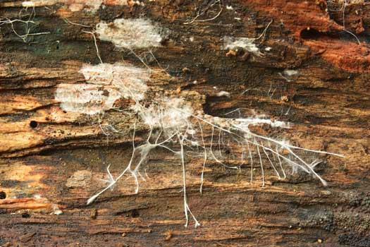 Mycelium Growing on a Log