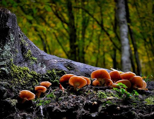 Mushrooms on a Tree