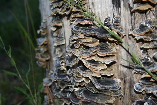 Turkey Tail Wood