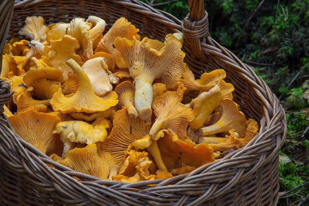 bucket full of yellow chanterelle mushrooms