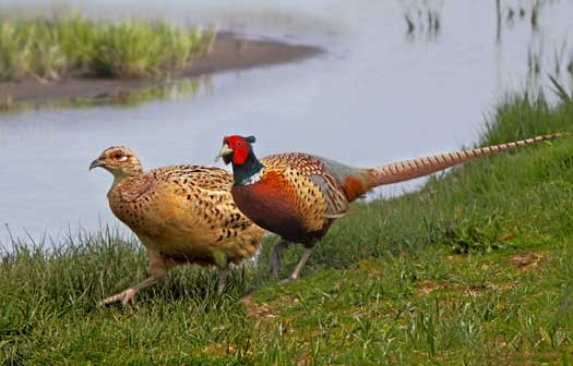 Pheasants on the Ground