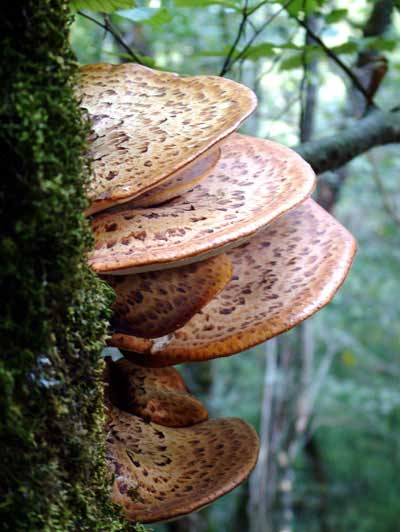 Pheasant Mushrooms on Tree