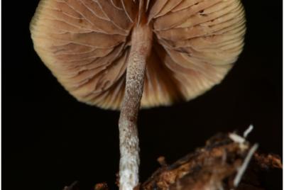 Psilocybe Caerulipes