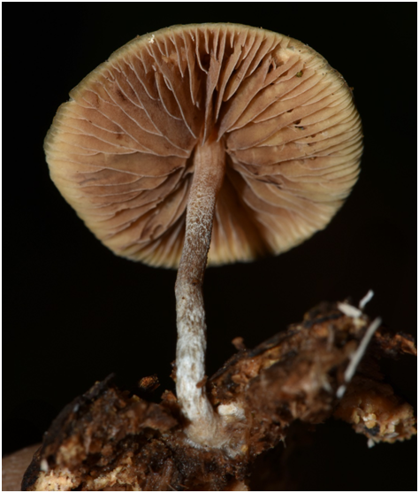 psilocybe caerulipes mushroom close up