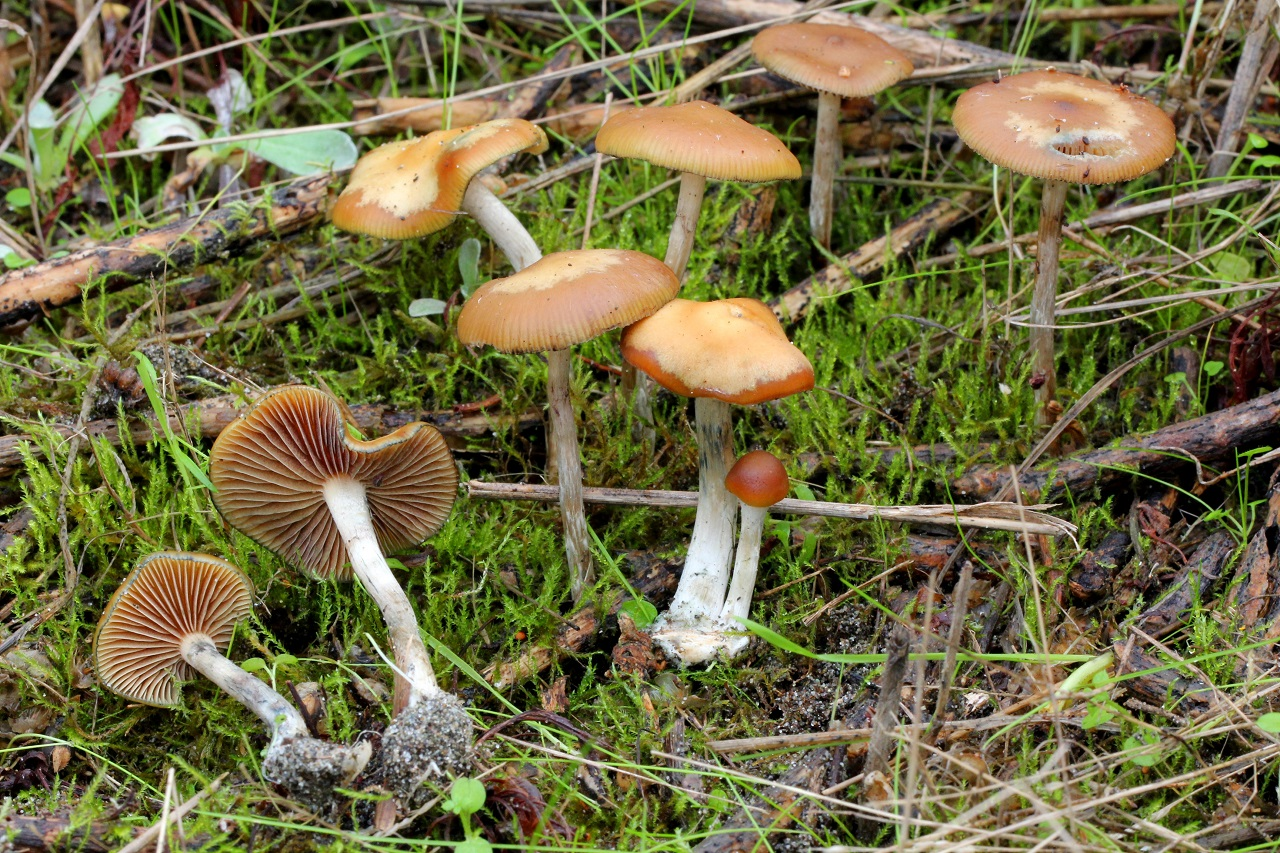 psilocybe cyanescens mushrooms