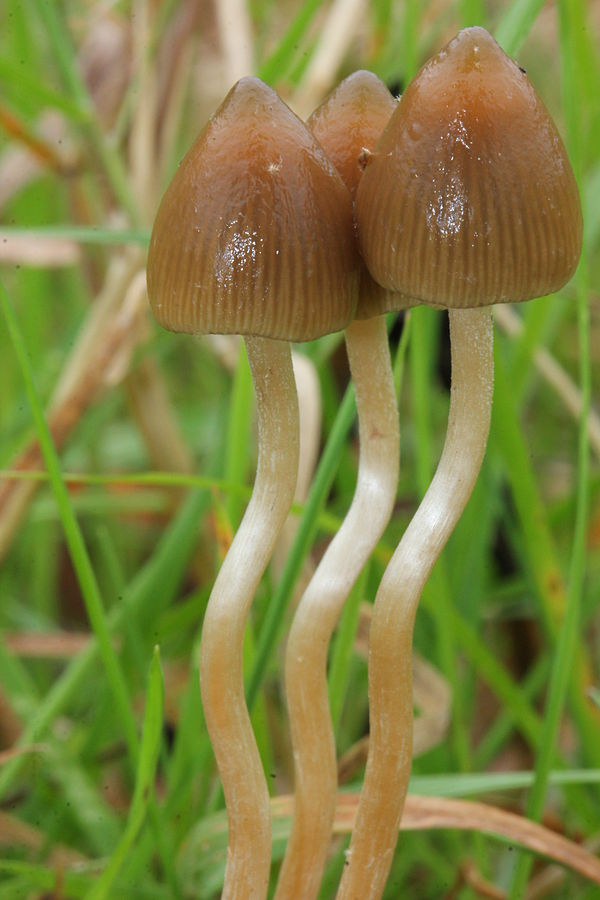 psilocybe semilanceata featured image